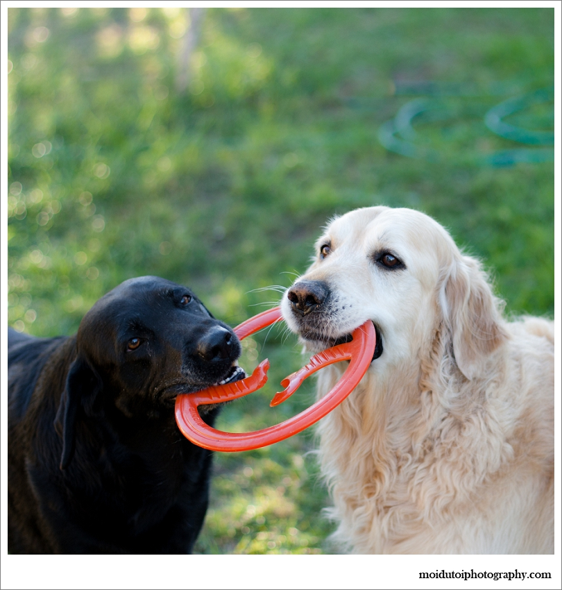 pet photography of dogs playing