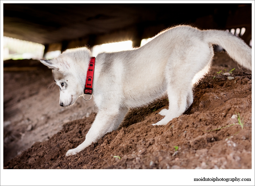 Siberian Husky puupy, pet photography, puppy photography