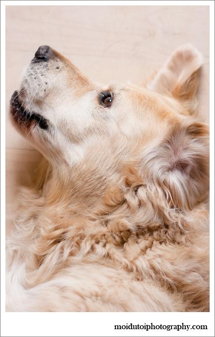 Golden Retriever, pet photographygraphy, Sedgefield, moi du toi, dogs