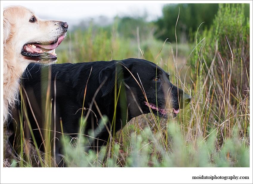 Golden retriever and black labrador photoshoot outdoor