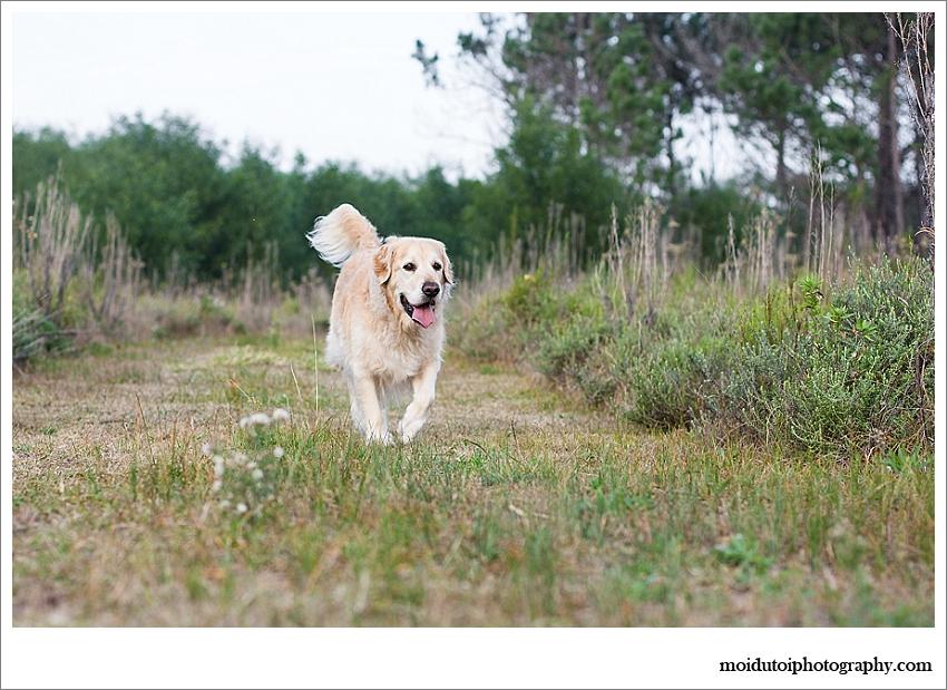 Golden retriever off lead outdoor shoot