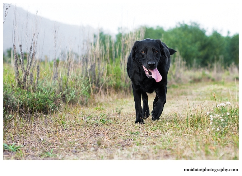 Black labrador pet photography