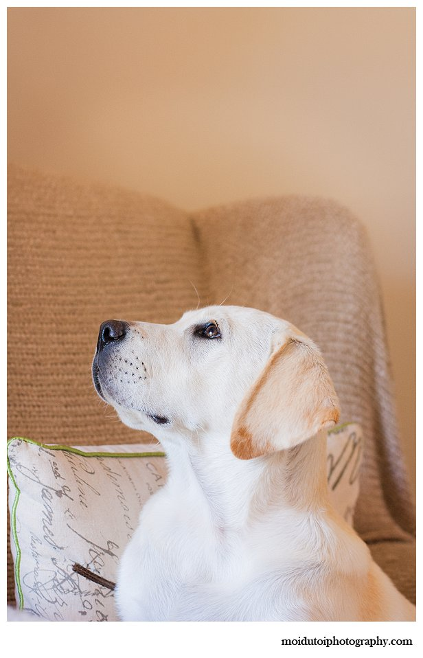 Labrador puppy golden