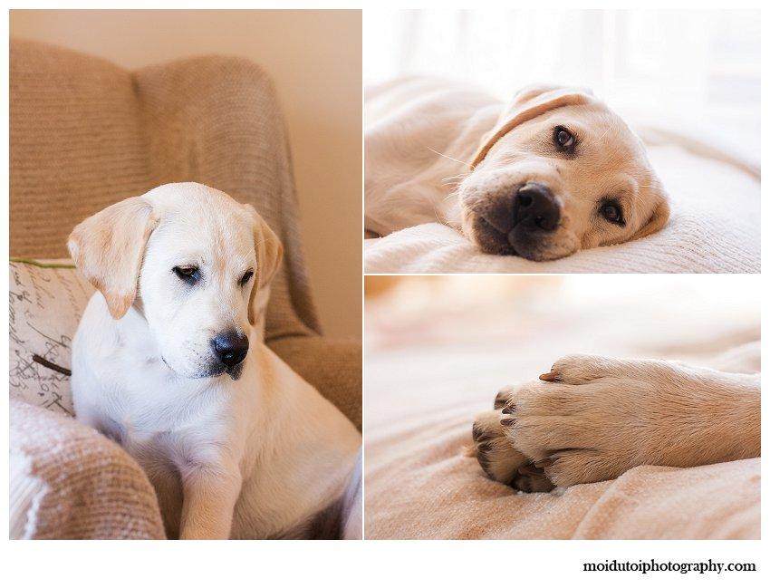 Labrador puppy pet photos