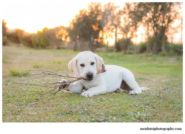 Labrador puppy photo