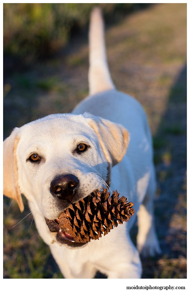 Puppy with pinecone