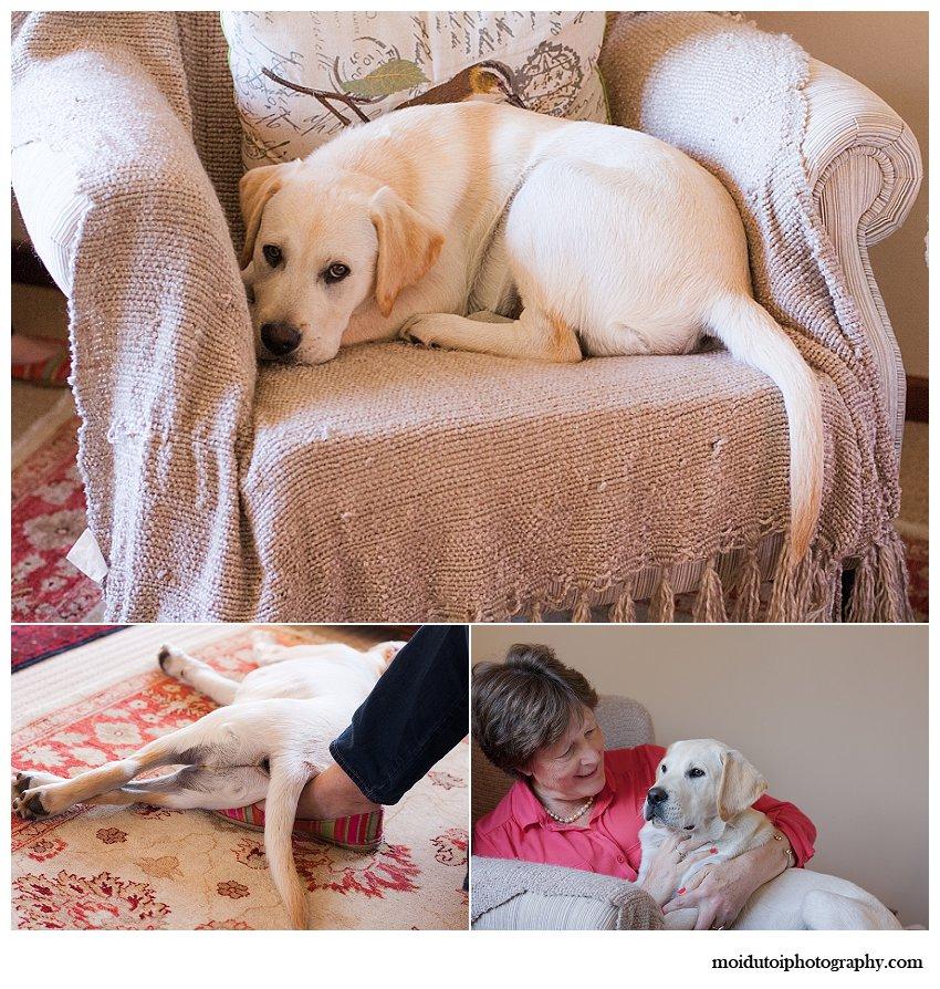 Pet photography Golden labrador