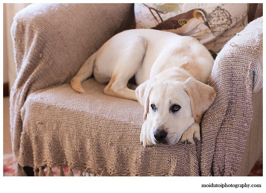 Golden labrador puppy