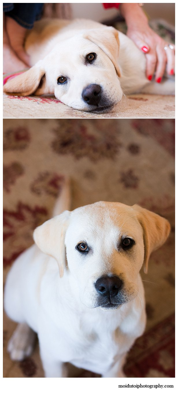 Labrador puppy photography