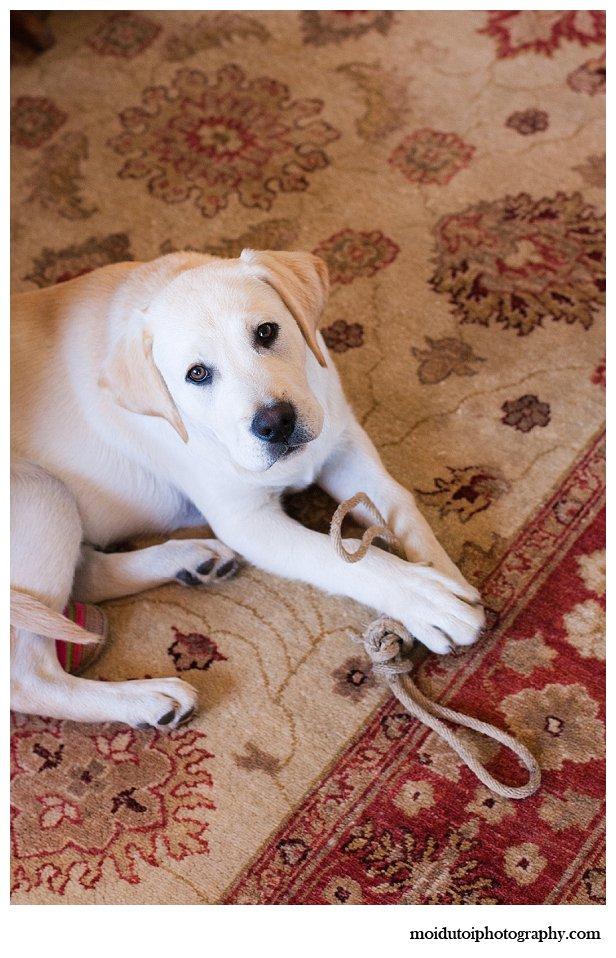 Labrador puppy photo session