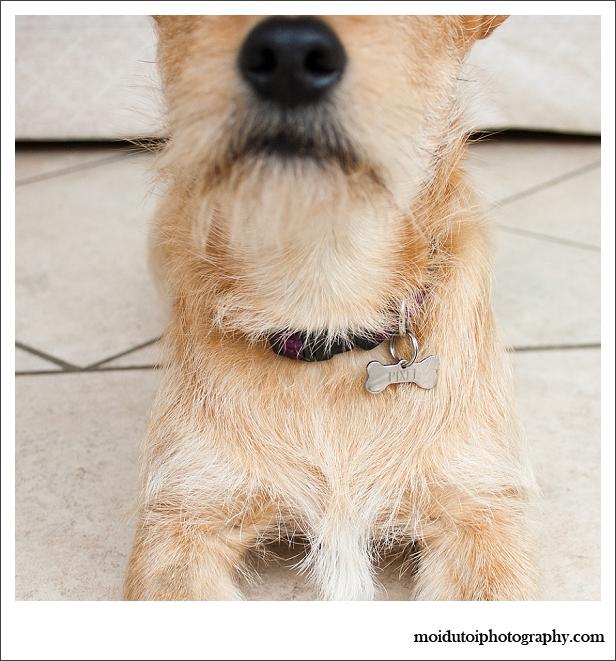 Pixel Terrier mix-5804