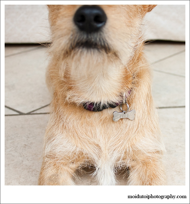Pixel Terrier mix-5804