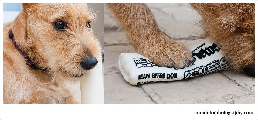 Pixel Terrier mix-5896