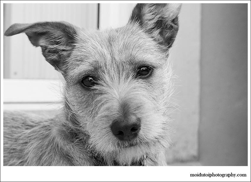 Pixel Terrier mix-5899