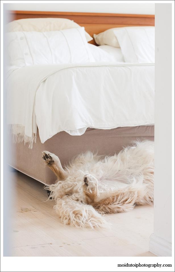 Pet photography golden retriever