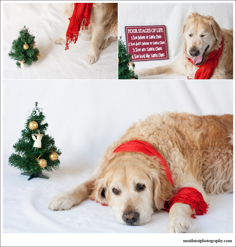 Golden retriever, dogs, pet photography, Christmas dogs, Christmas pets, pet photography south africa
