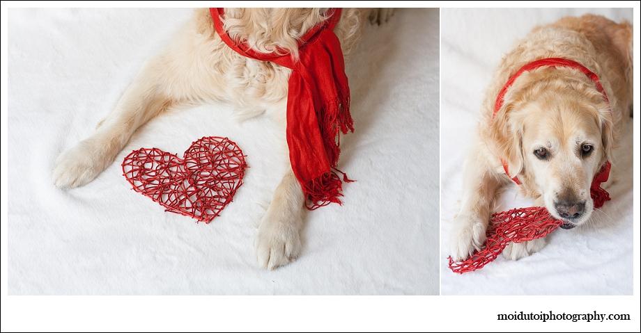 Golden retriever, dogs, pet photography, Christmas dogs, Christmas pets, pet photography south africa, red heart