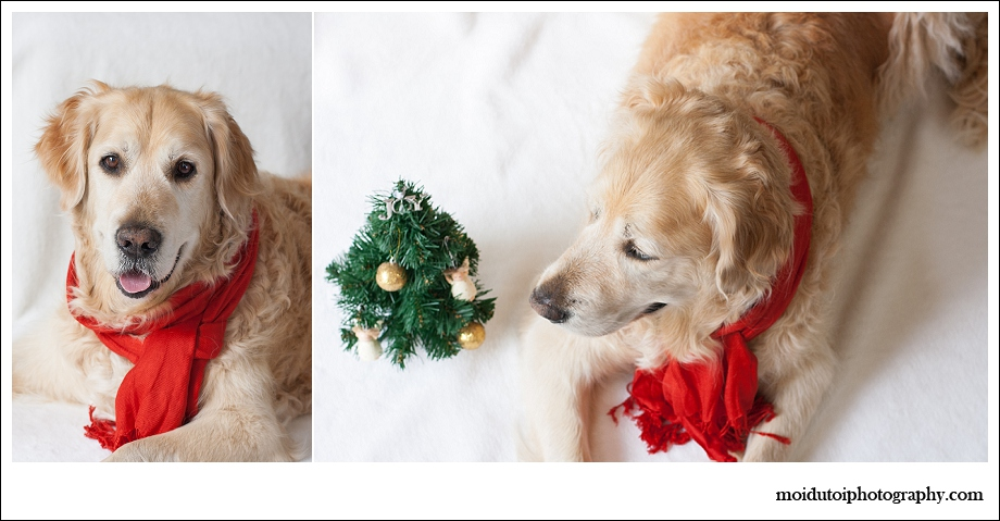 Golden retriever, dogs, pet photography, Christmas dogs, Christmas pets, pet photography south africa