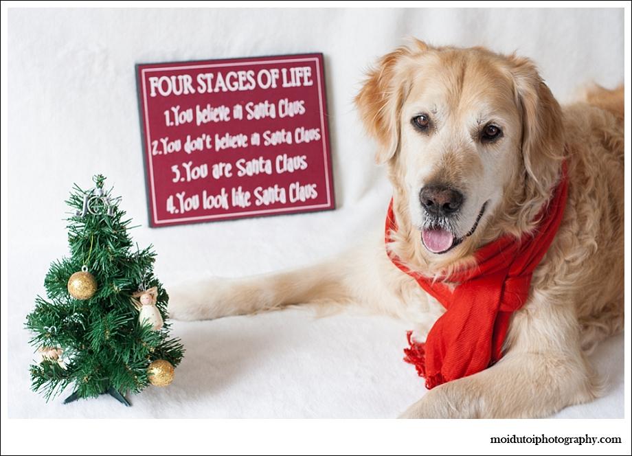 Golden retriever, dogs, pet photography, Christmas dogs, Christmas pets, pet photography south africa, Santa