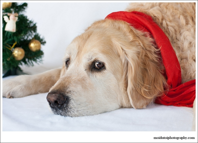 Golden retriever, dogs, pet photography, Christmas dogs, Christmas pets, pet photography south africa, fed up dog
