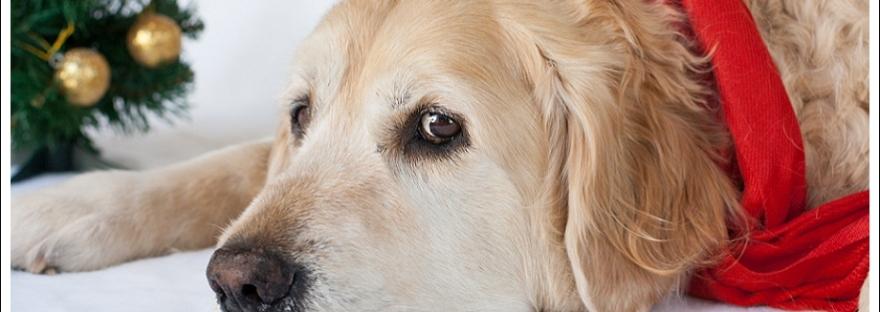 Golden retriever, dogs, pet photography, Christmas dogs, Christmas pets, pet photography south africa, fed up dog