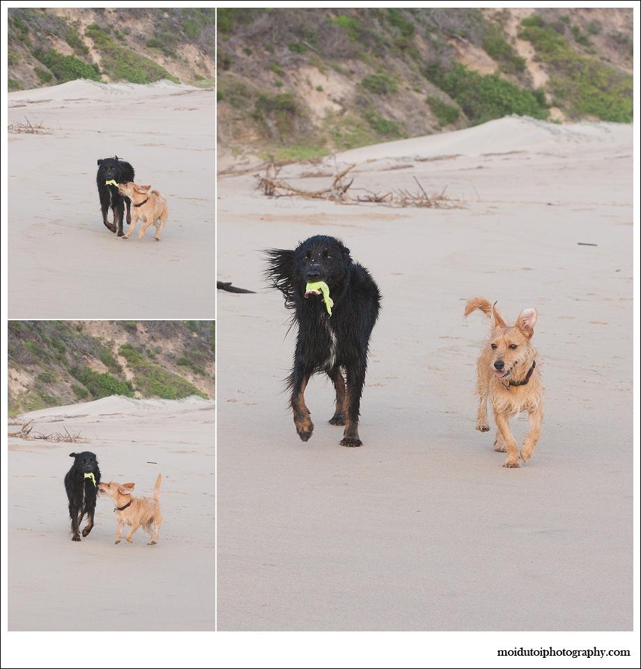 Dogs, beach, western Cape, pet photography, beach buddies