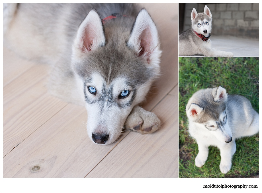 Pet photography, puppy photography, husky, western Cape, Bacardi