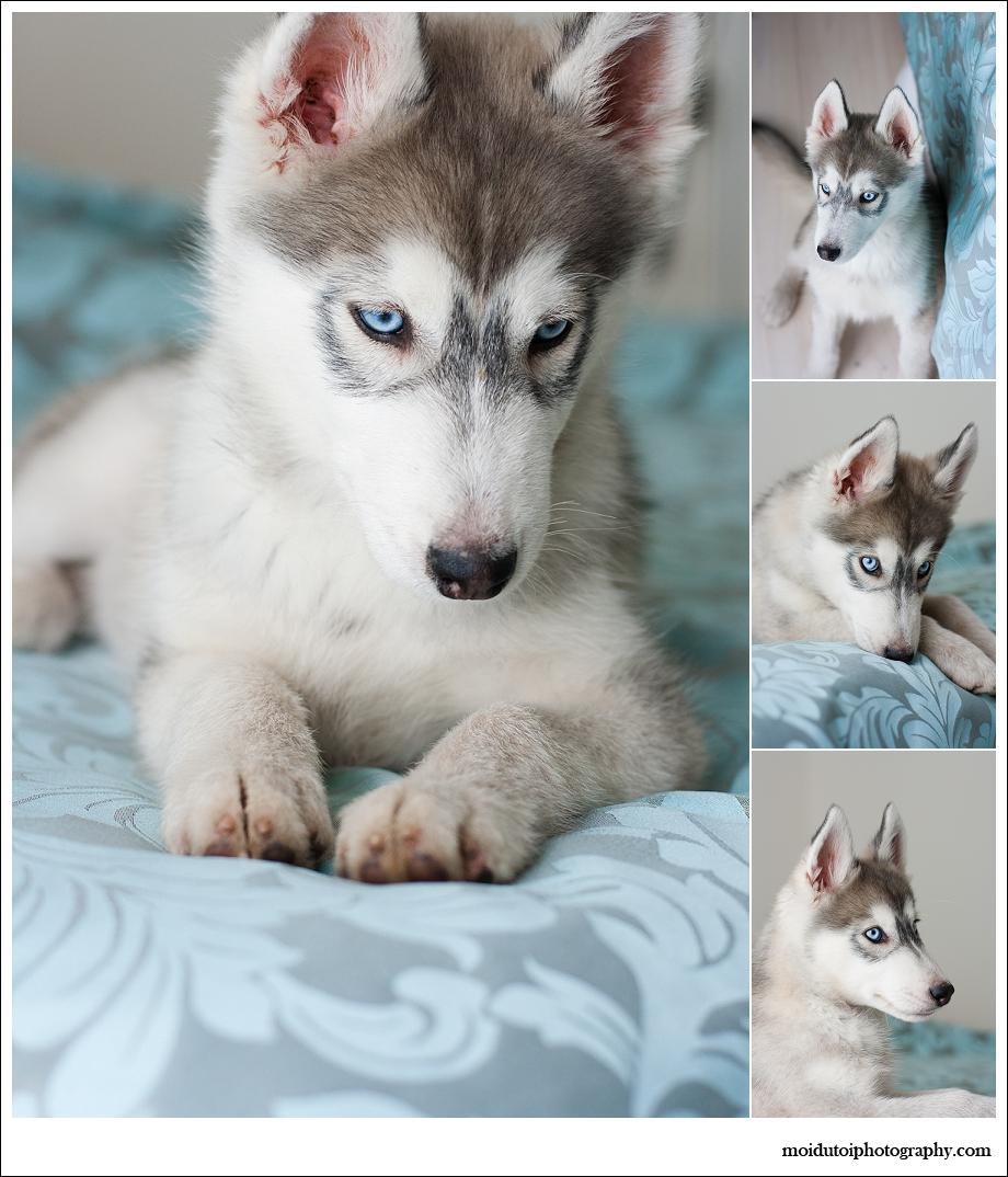 Pet photography, puppy photography, husky, western Cape, Bacardi