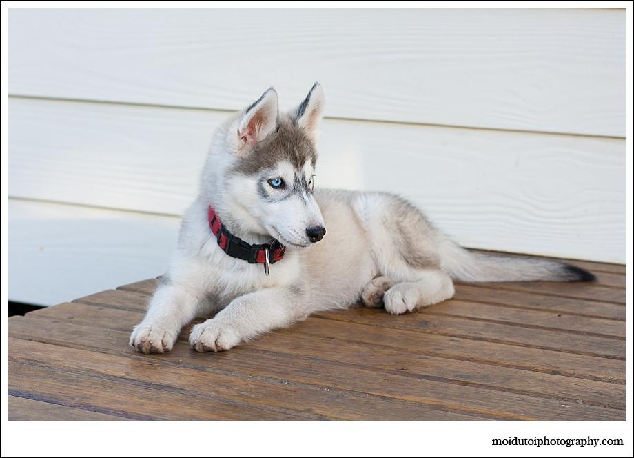 Husky puppy-2290, puppy photography, western Cape, Bacardi