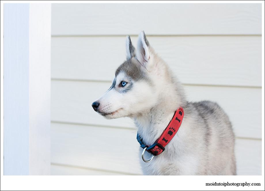 Siberian husky puppy, puppy photography,western Cape