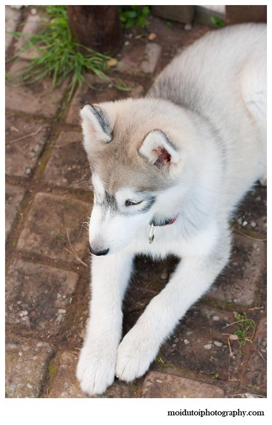 Puppy photography, pet photography, husky, moi du toi