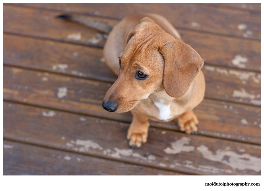 Dog photographer, Dachshund, natural light, Coco, moi du toi