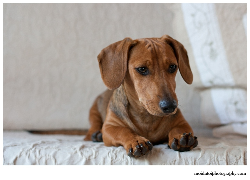 Dog photographer, moi du toi, Dachshund, natural light,