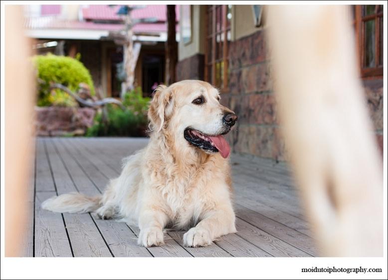 Golden retriever, pet photography, scarab village
