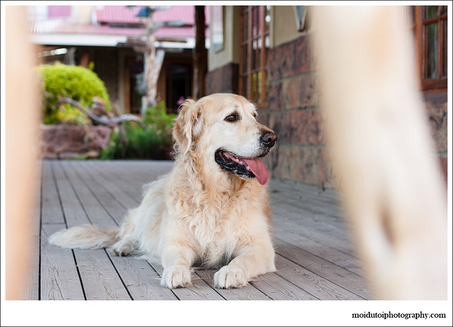 Golden retriever, pet photography, scarab village