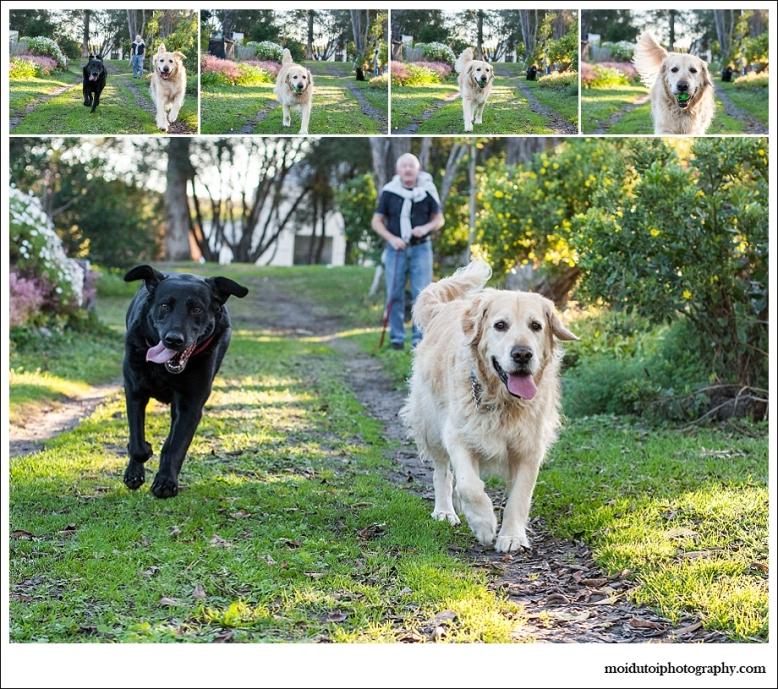 Golden retriever and black labrador running , dog photography scarab village