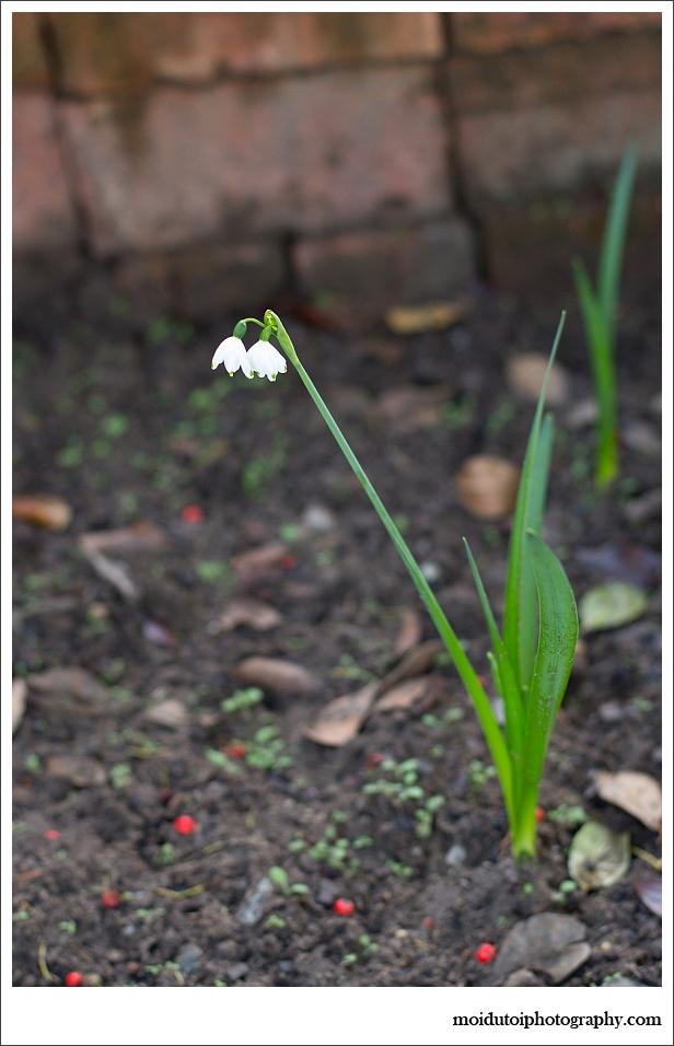 Snowdrop, flowers