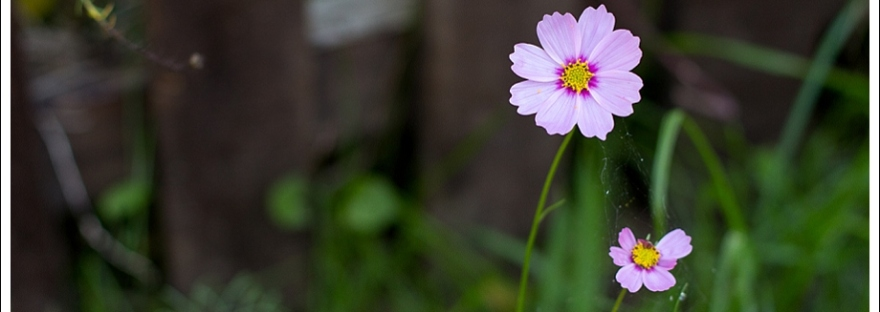 Flowers, cosmos, south african flowers