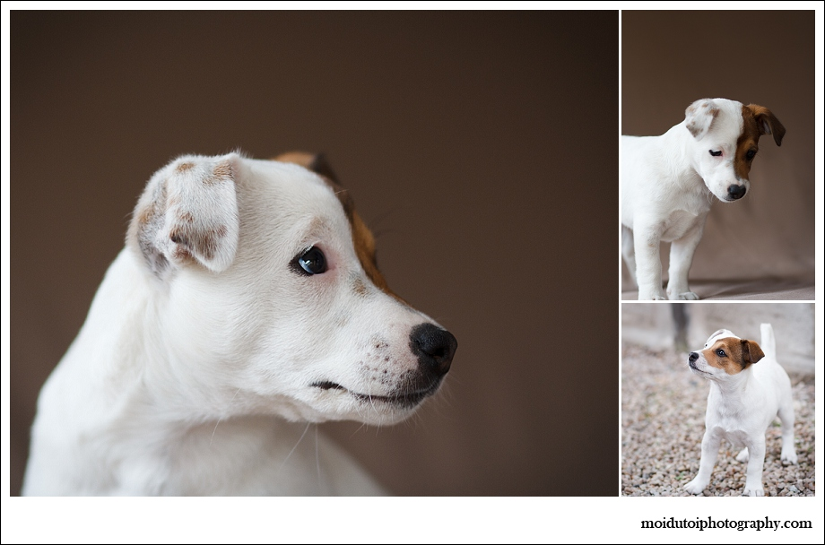 Sedgefield, puppy, jack russell, moi du toi photography, pet photographer