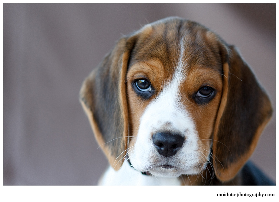 Beagle Puppy, pet photography, dog photography, cute puppy