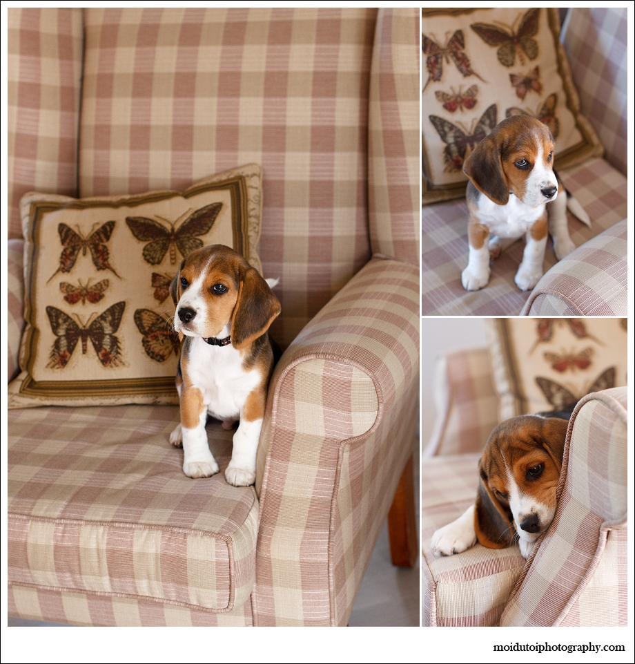 pet photography, dog photography, cute puppy, beagle puppy photography Sedgefield, Western Cape