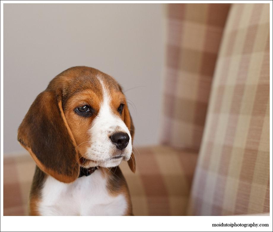 Beagle Puppy, pet photography, dog photography, cute puppy, beagle puppy photography Sedgefield, Western Cape