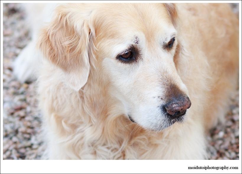 Golden retriever, Pet photography, dog photographer south africa, moira du toit photographer