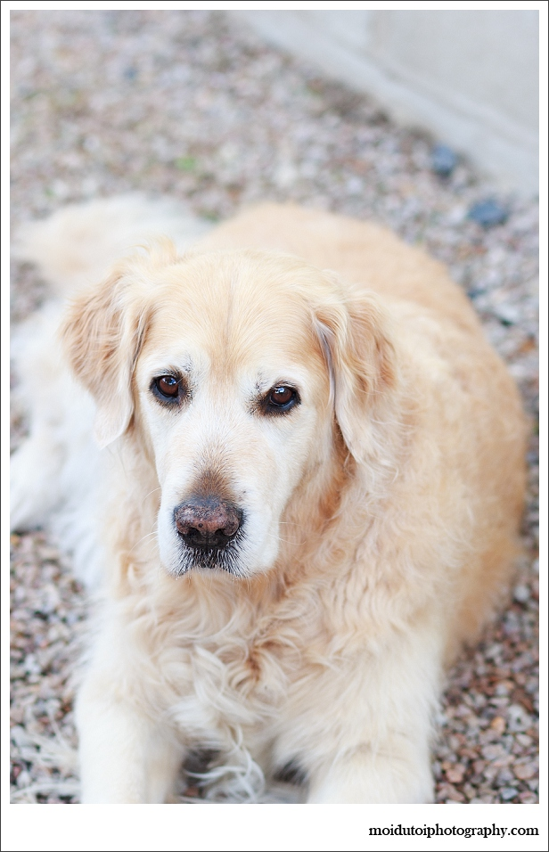 Golden retriever, Pet photography, dog photographer south africa, moira du toit photographer