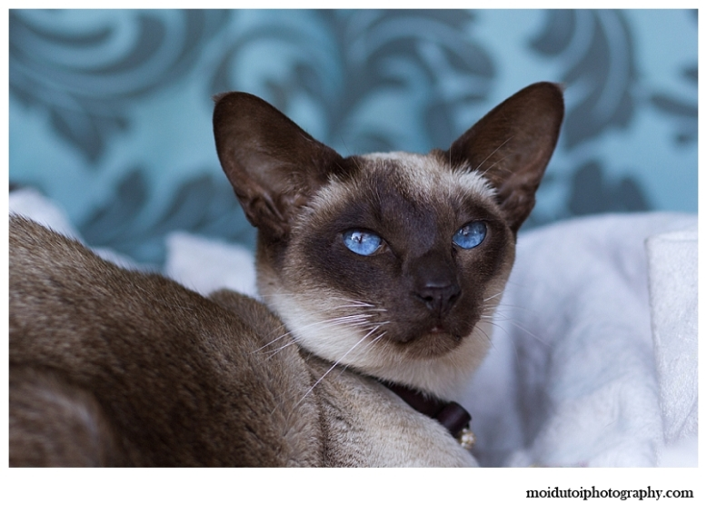 moi du toi photography, cat photographer western Cape, pet photography, Siamese cats, chocolate point