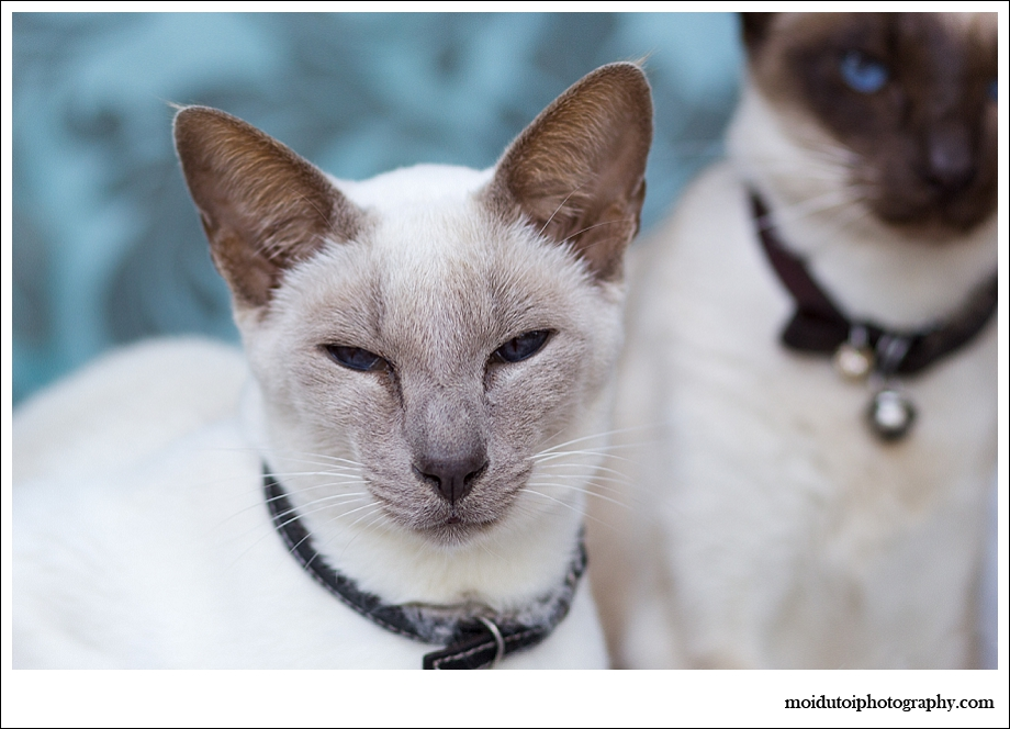 moi du toi photography, cat photographer western Cape, pet photography, Siamese cats, lilac point
