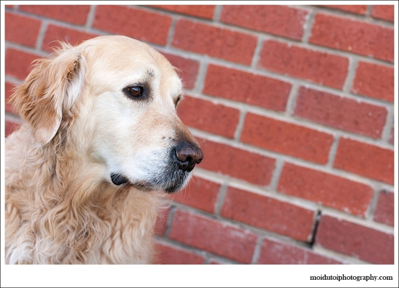 golden retriever, Paddington, pet photography, western Cape