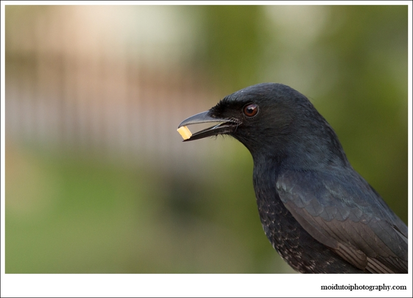 Fork tailed drongo, wildlife photography, bird photography, western cape