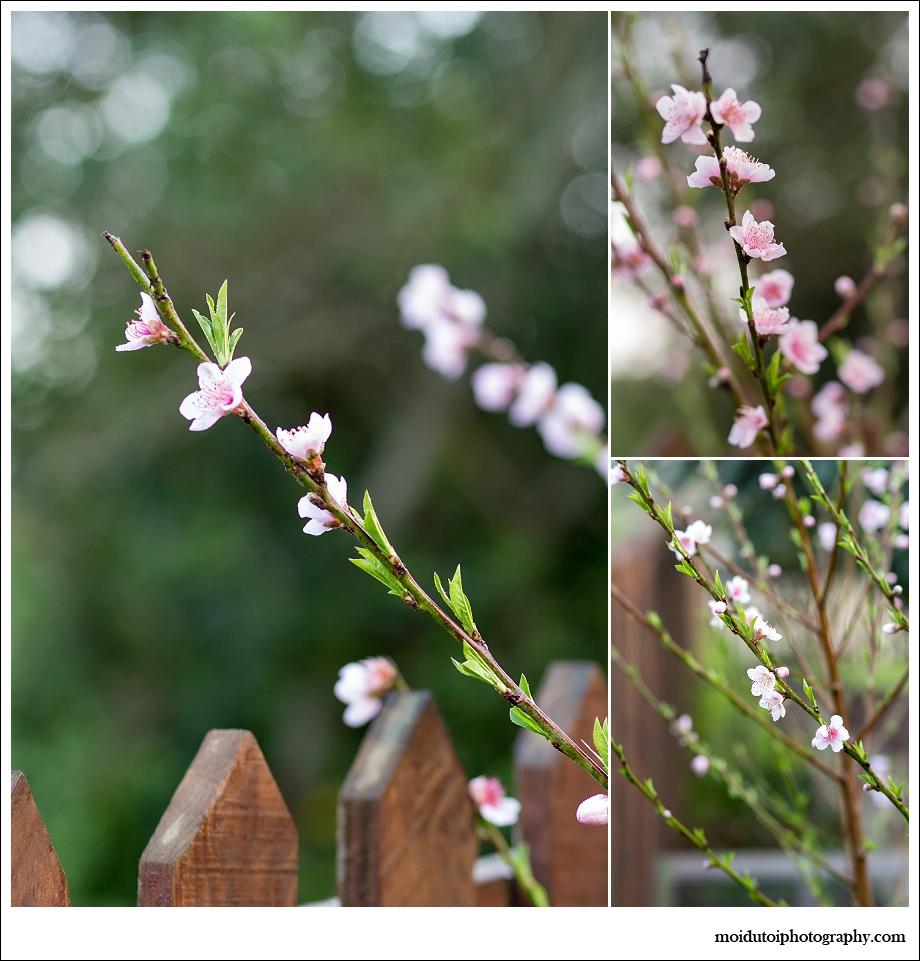 spring, peach blossom, naartjie, western cape