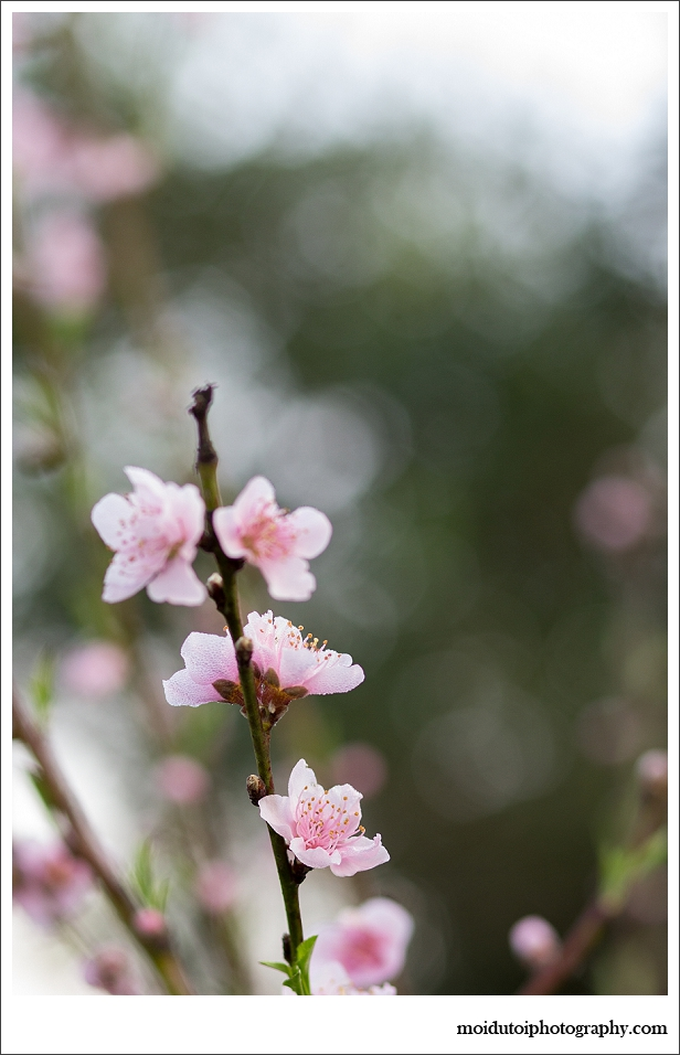 natural light, nature, black labrador, spring, peach blossoms, naartjies